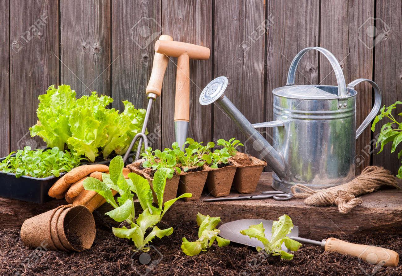 seedlings of lettuce with