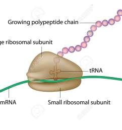 ribosome and translation [ 1300 x 980 Pixel ]