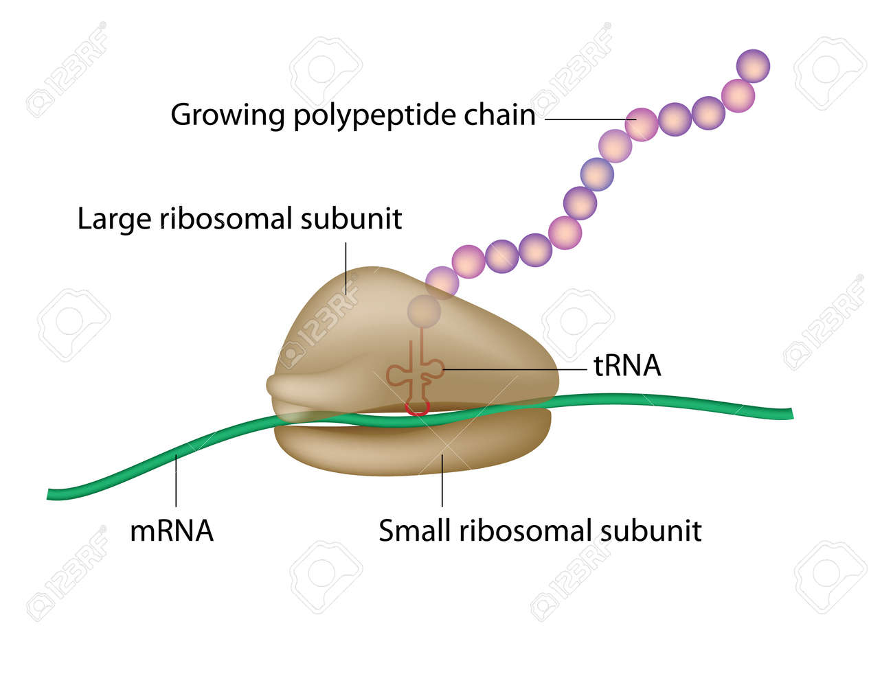 hight resolution of ribosome and translation