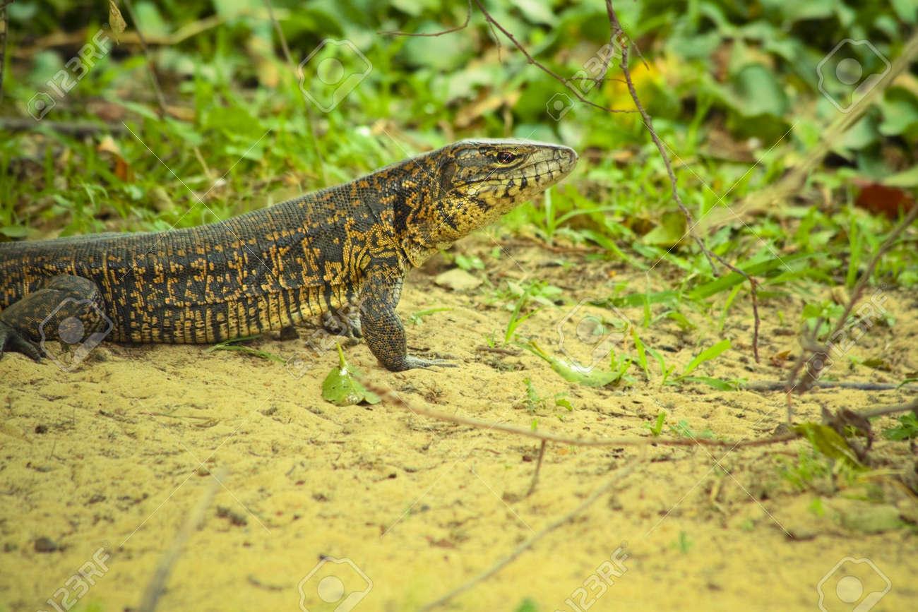 tegu lizard standing on