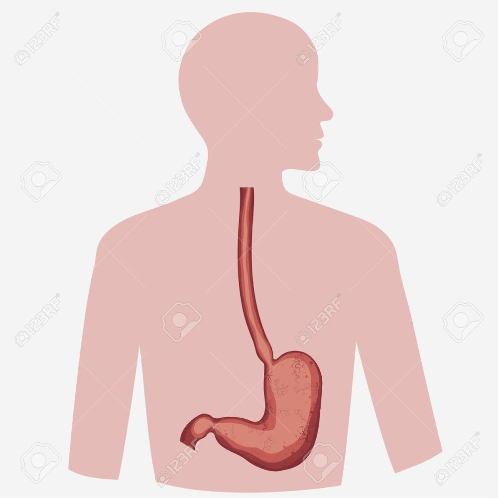 medium resolution of stomach vector digestive diagram set human anatomy image illness respiratory graphics vector stock