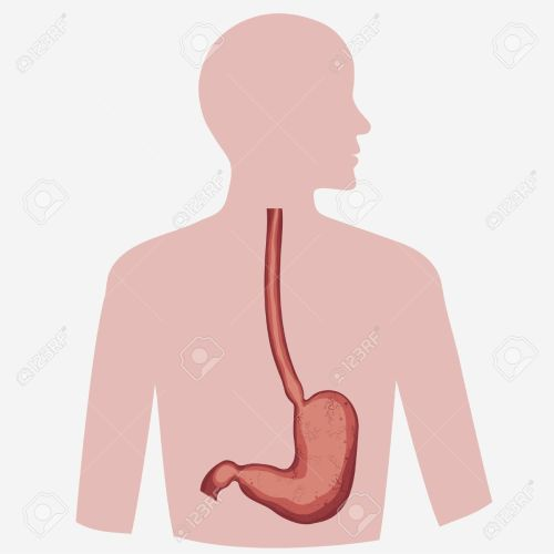 small resolution of stomach vector digestive diagram set human anatomy image illness respiratory graphics vector stock