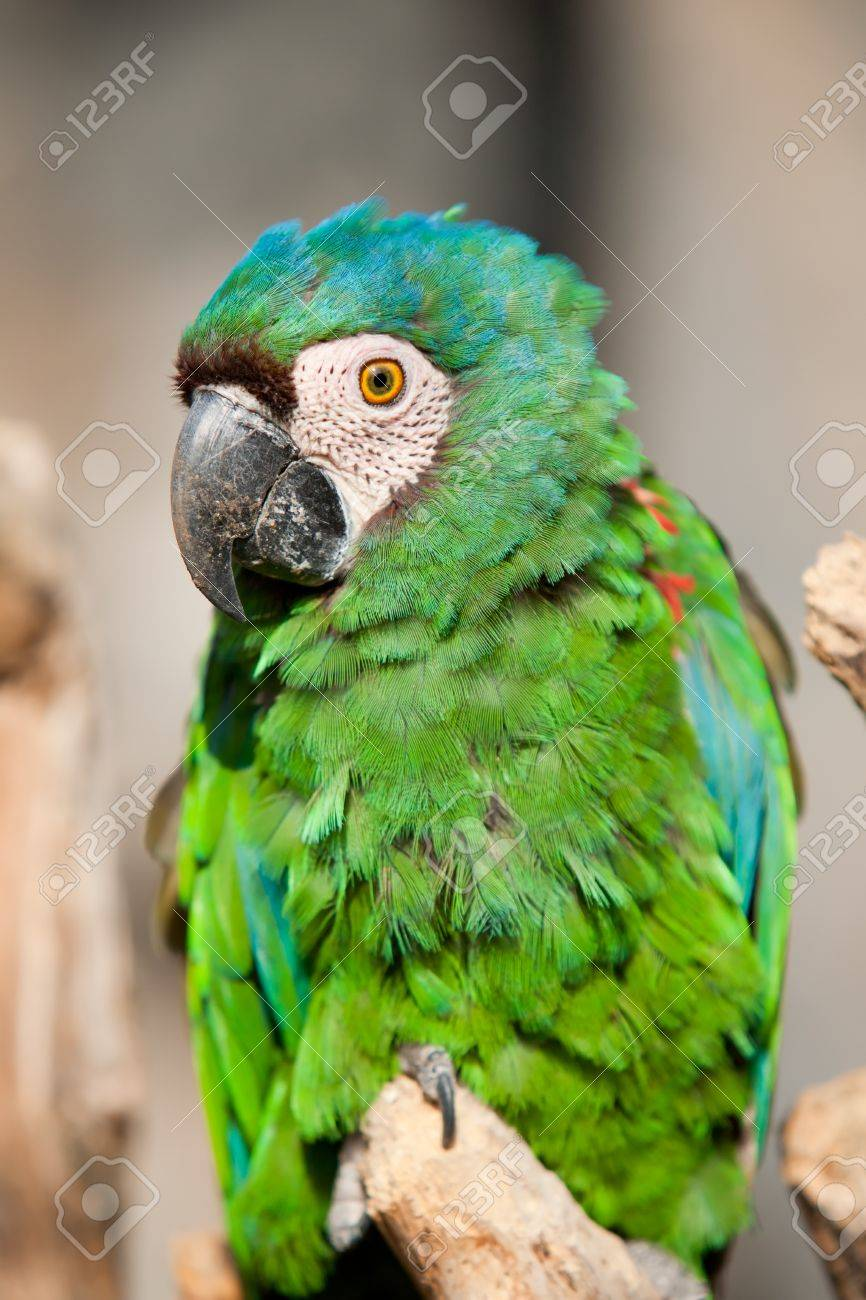 the chestnut fronted macaw