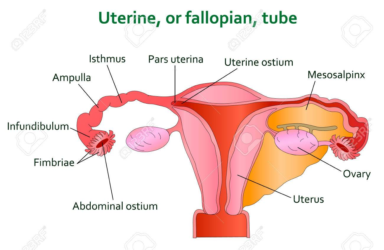 hight resolution of diagram of uterine tube wiring diagram schematics detailed diagram of the uterus diagram of fallopian tube