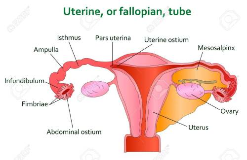 small resolution of diagram of uterine tube wiring diagram schematics detailed diagram of the uterus diagram of fallopian tube