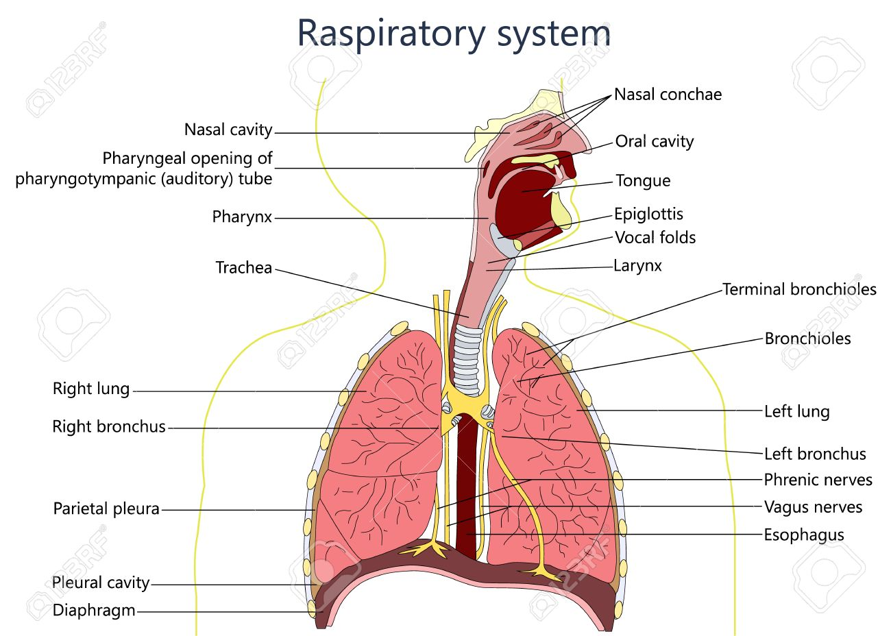 hight resolution of respiratory system diagram