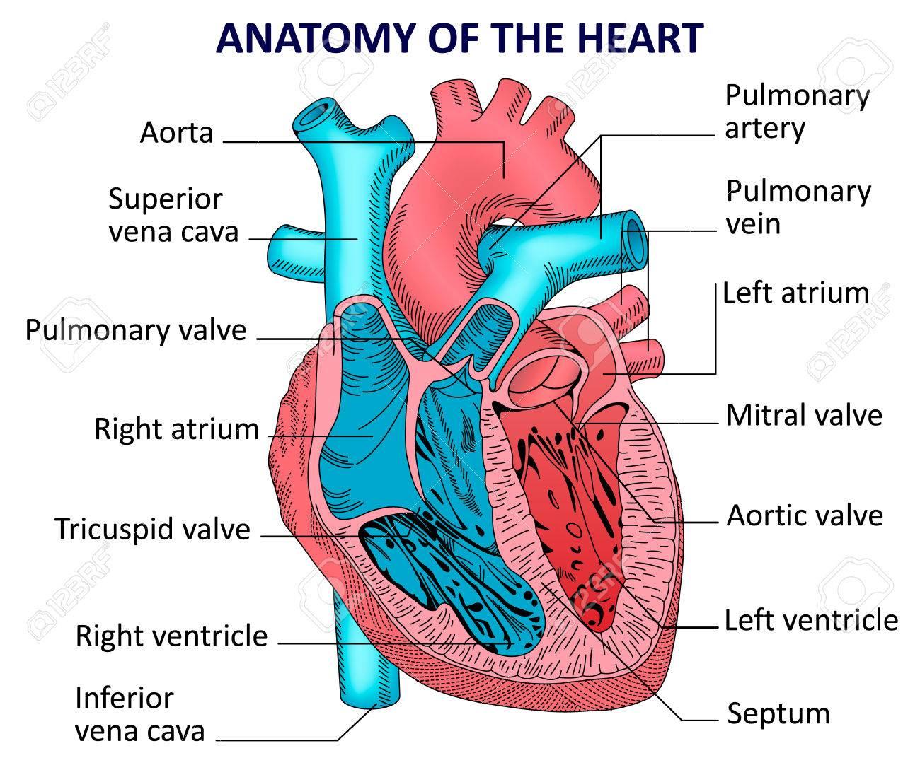anatomical heart diagram corsa c handbrake cable human anatomy royalty free cliparts vectors and stock vector 60387733