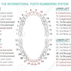 Canine Eye Diagram Right Trailer Connector Teeth Free Wiring For You Adult International Tooth Numbering Chart Illustration Editable Rh 123rf Com Numbers Clip Art