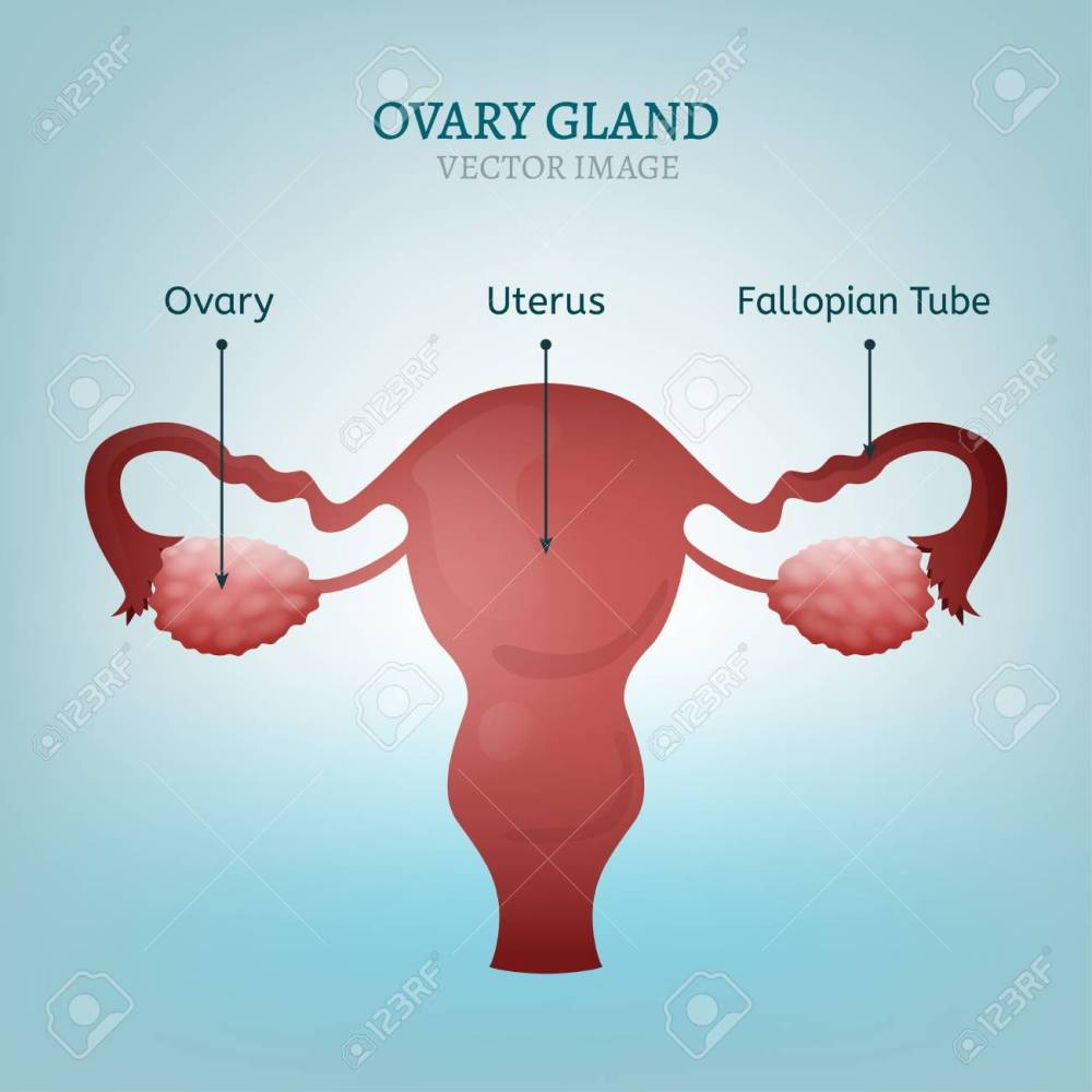 medium resolution of female reproductive system uterus ovary glands and fallopian tubes vector illustration isolated on