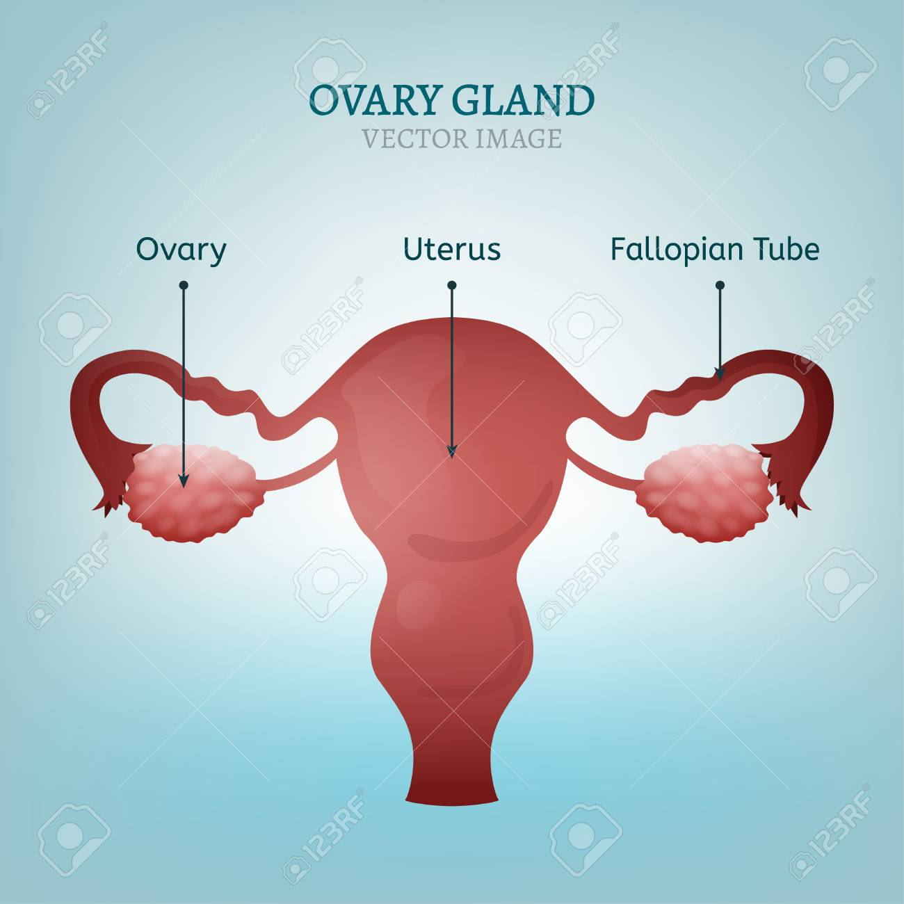 hight resolution of female reproductive system uterus ovary glands and fallopian tubes vector illustration isolated on