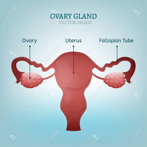 small resolution of female reproductive system uterus ovary glands and fallopian tubes vector illustration isolated on