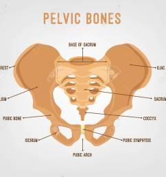human male anatomy scheme main pelvic bones vector illustration isolated on a white background  [ 1300 x 1144 Pixel ]