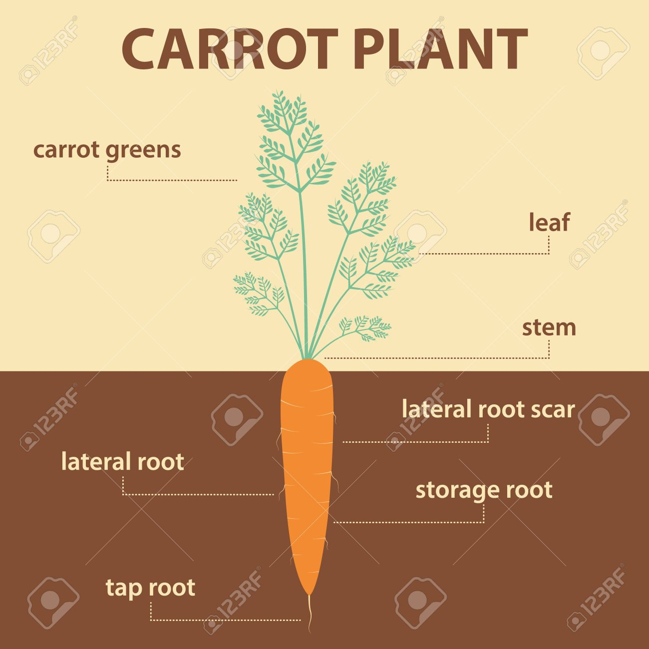carrot plant diagram 6 pin trailer harness wiring vector showing parts of whole agricultural infographic scheme with labels for education biology root vegetables