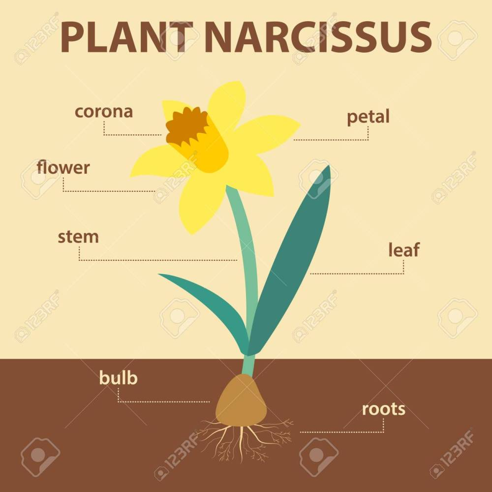 medium resolution of vector vector diagram showing parts of narcissus whole plant agricultural infographic daffodil scheme with labels for education of biology flower