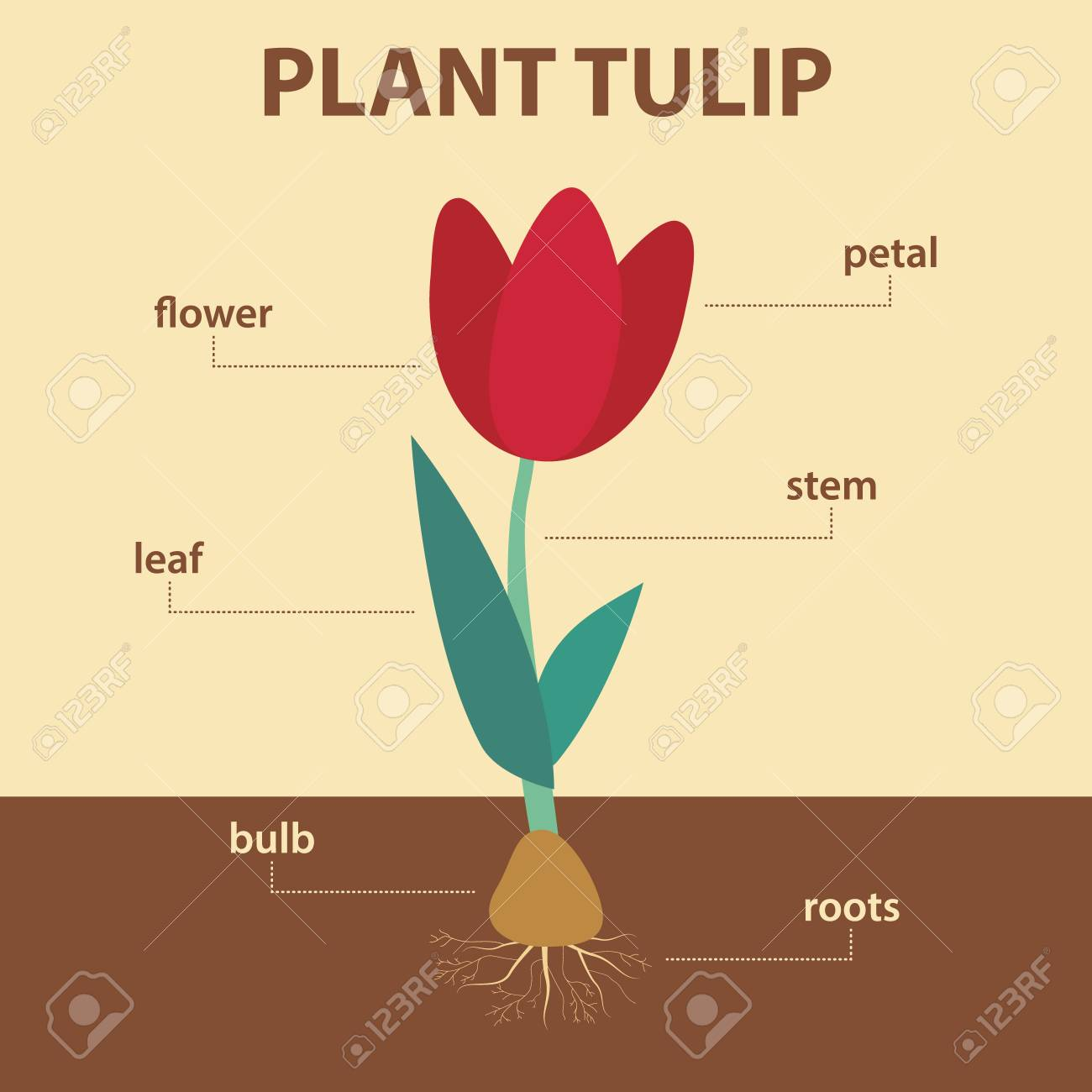 flower parts diagram without labels trailer wiring 7 pin 5 wires australia showing of tulip whole plant agricultural infographic scheme with for education