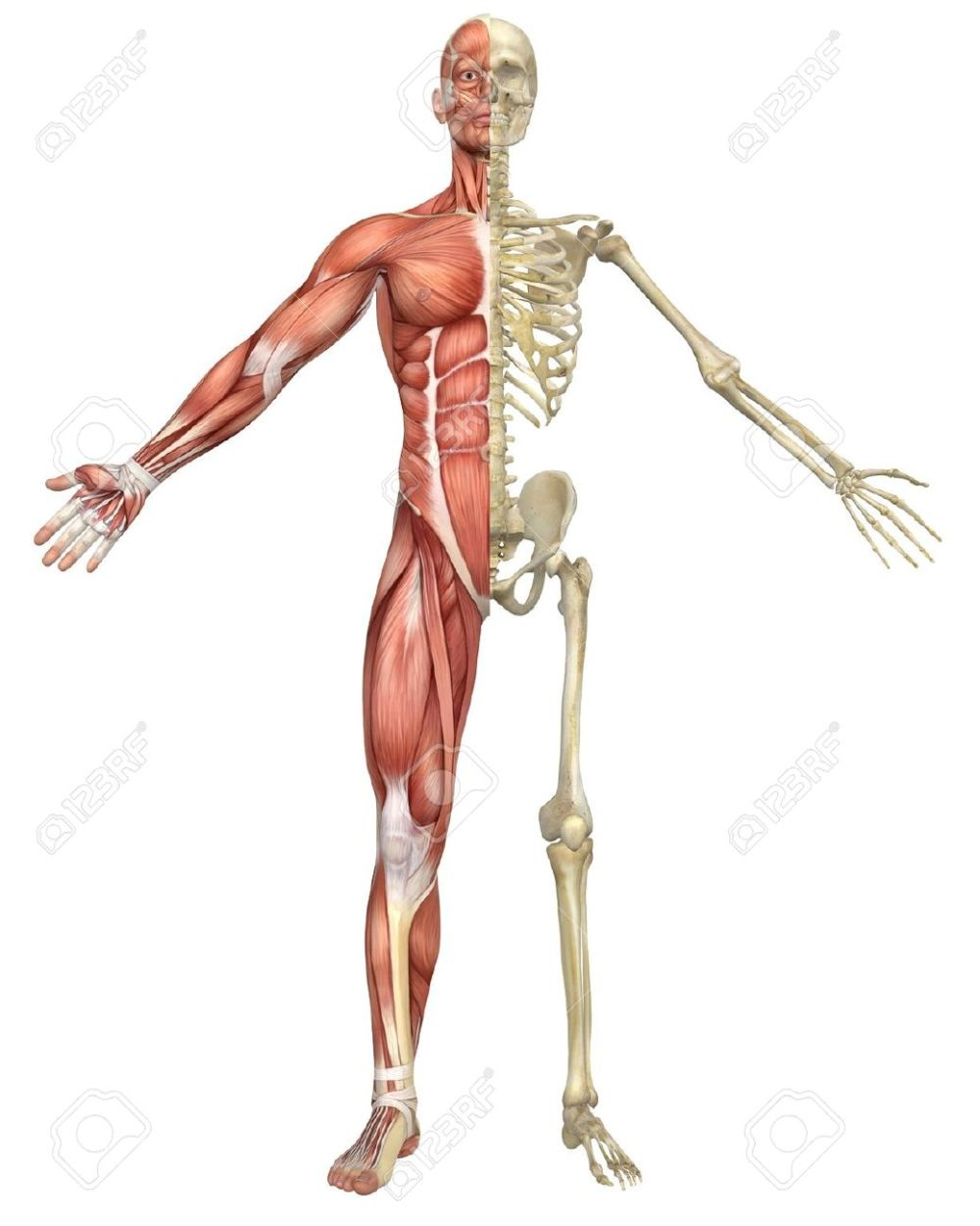 medium resolution of a front split view illustration of the male muscular skeleton diagram of male digestive system a