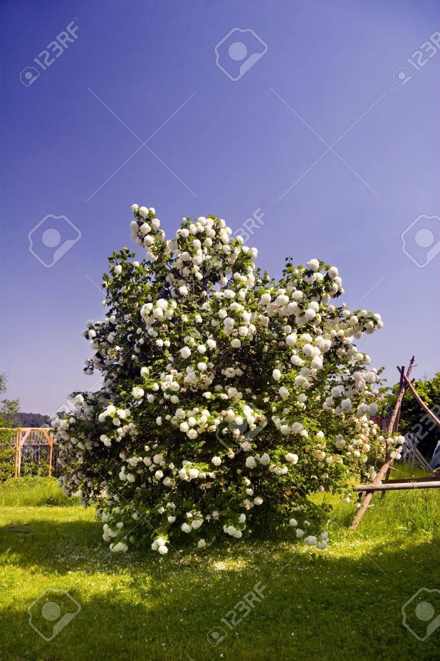 Arbuste Boule De Neige : arbuste, boule, neige, S'épanouir, Arbuste, Boule, Neige, Jardin, Printemps, Banque, D'Images, Photos, Libres, Droits., Image, 18341330.