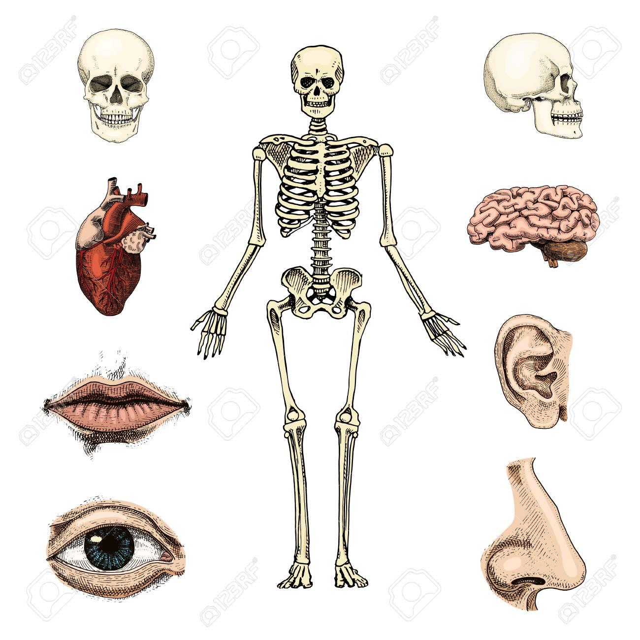 hight resolution of human biology anatomy illustration skull skeleton lips ear nose