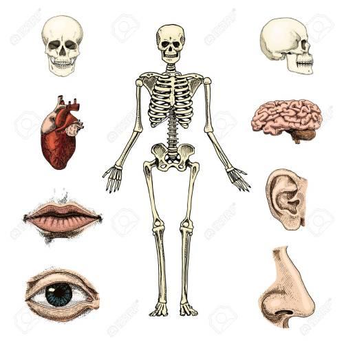small resolution of human biology anatomy illustration skull skeleton lips ear nose