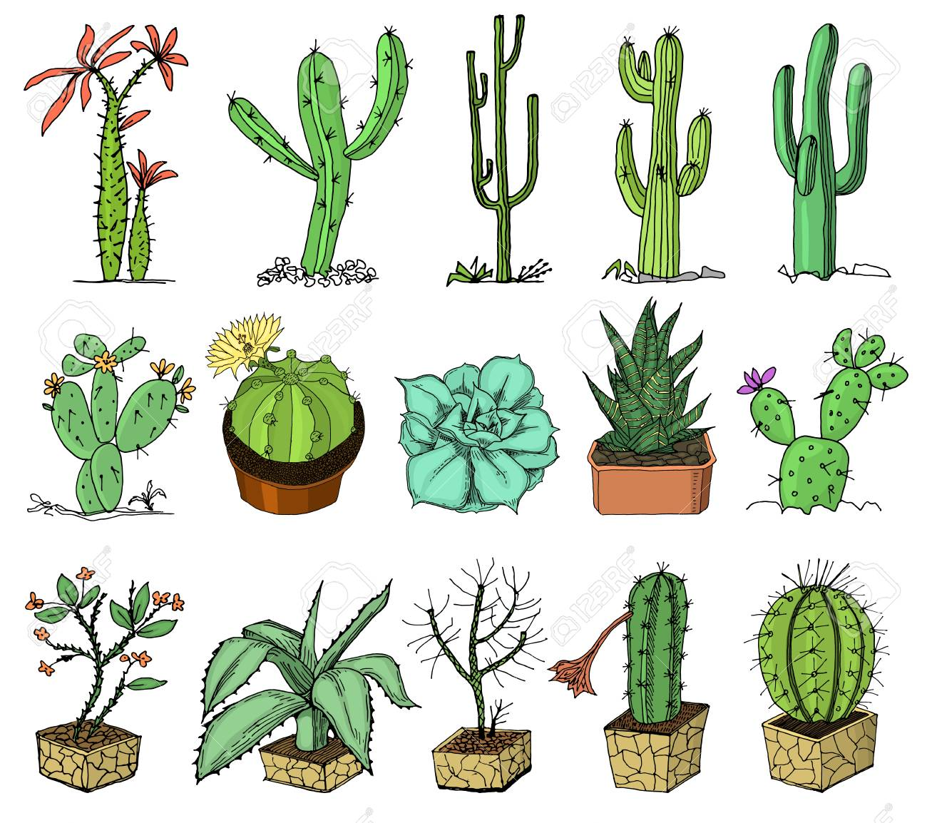 different cactus illustration