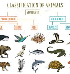 classification of animals reptiles amphibians mammals birds crocodile fish bear tiger whale snake frog [ 1300 x 969 Pixel ]