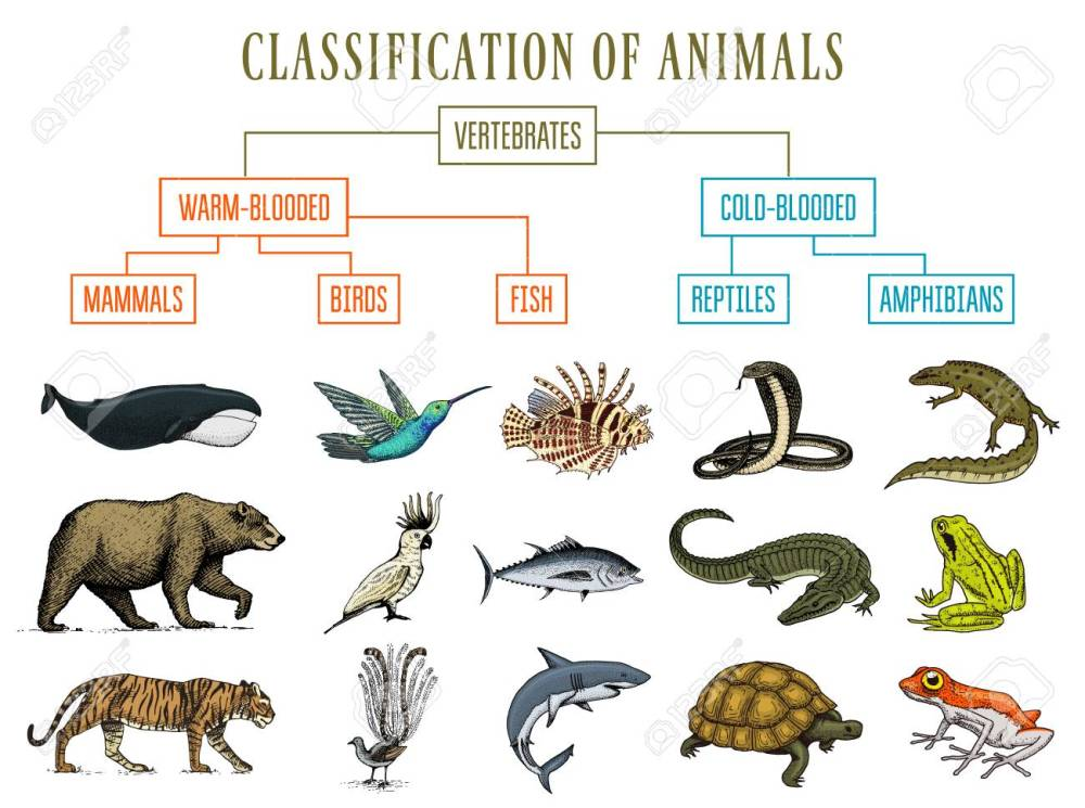medium resolution of classification of animals reptiles amphibians mammals birds crocodile fish bear tiger whale snake frog