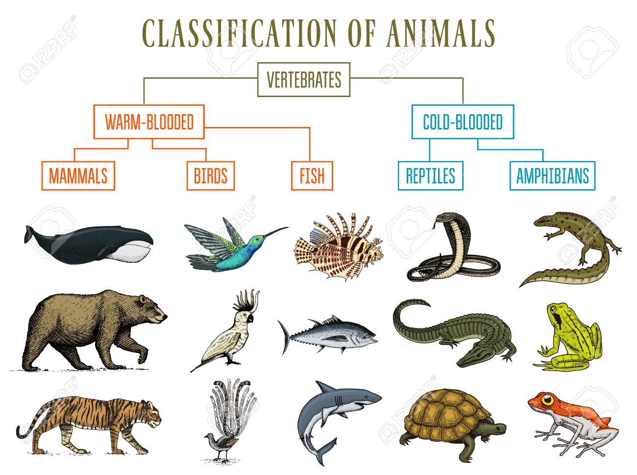 hight resolution of classification of animals reptiles amphibians mammals birds crocodile fish bear tiger whale snake frog