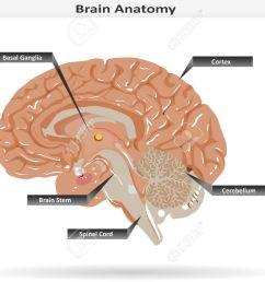 brain anatomy with basal ganglia cortex brain stem cerebellum and spinal cord stock [ 1300 x 975 Pixel ]