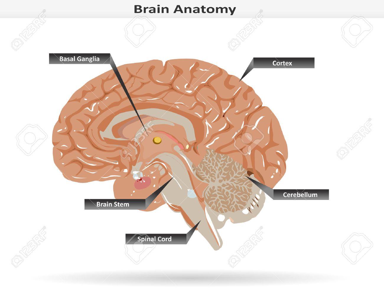 hight resolution of brain anatomy with basal ganglia cortex brain stem cerebellum and spinal cord stock