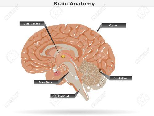 small resolution of brain anatomy with basal ganglia cortex brain stem cerebellum and spinal cord stock