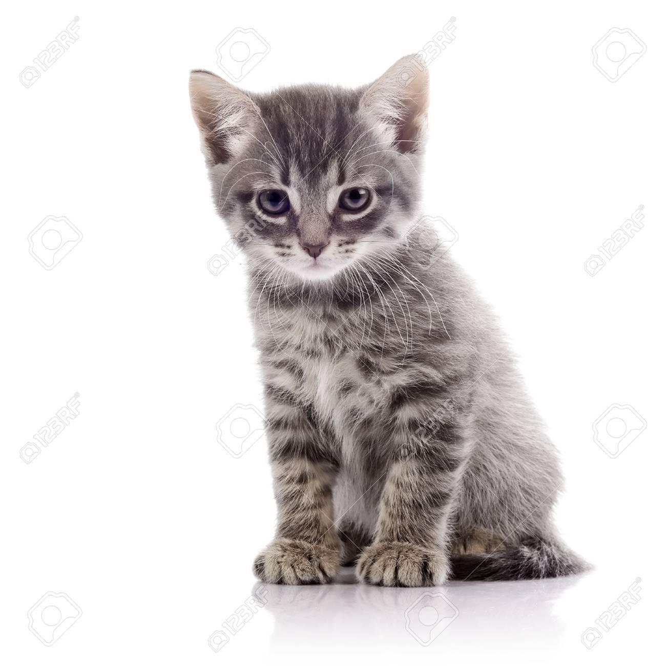 striped pas de race pure chaton chaton gris amusant chaton sur un fond blanc petit predateur petit chat banque d images et photos libres de droits image 34509324