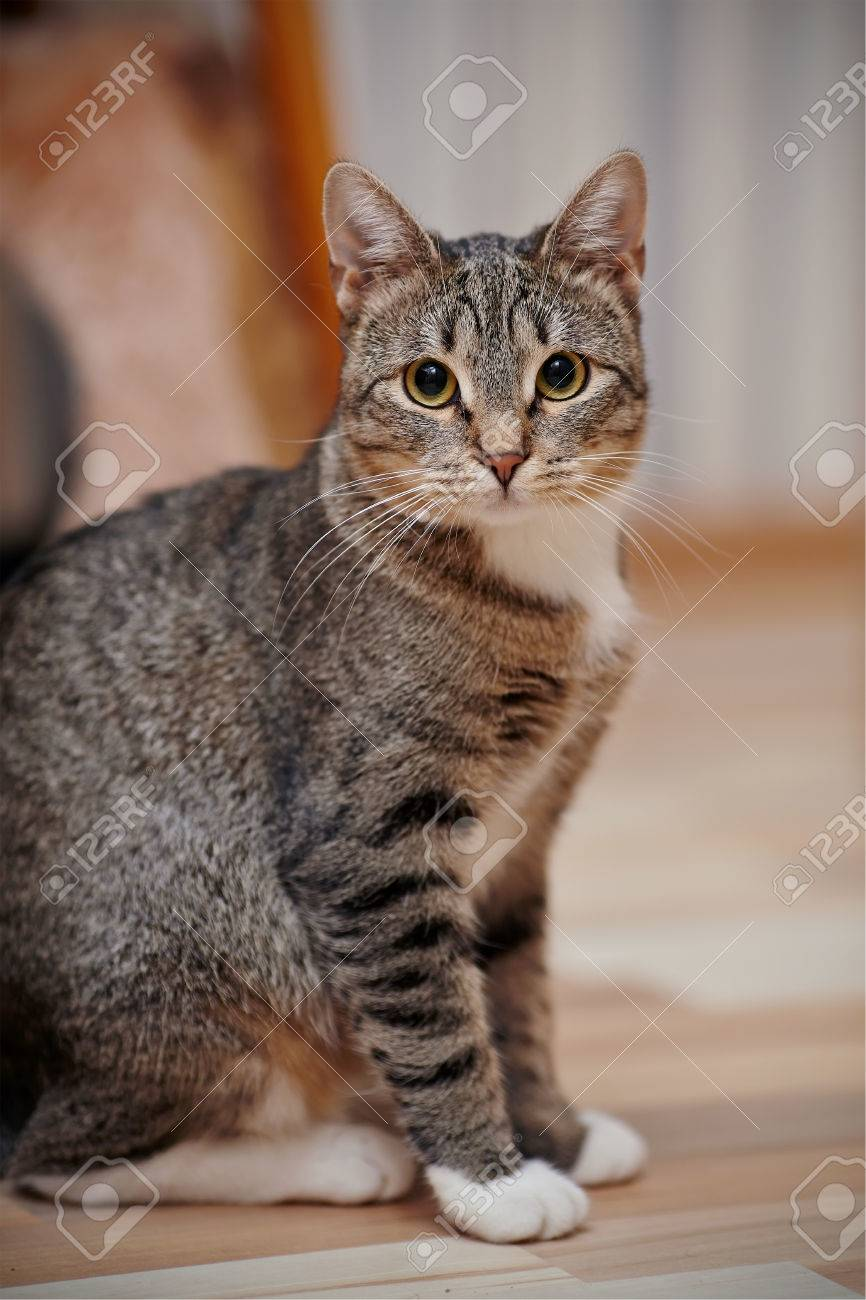 Gray Cat With White Paws : white, Striped, White, Yellow, Stock, Photo,, Picture, Royalty, Image., Image, 50578430.