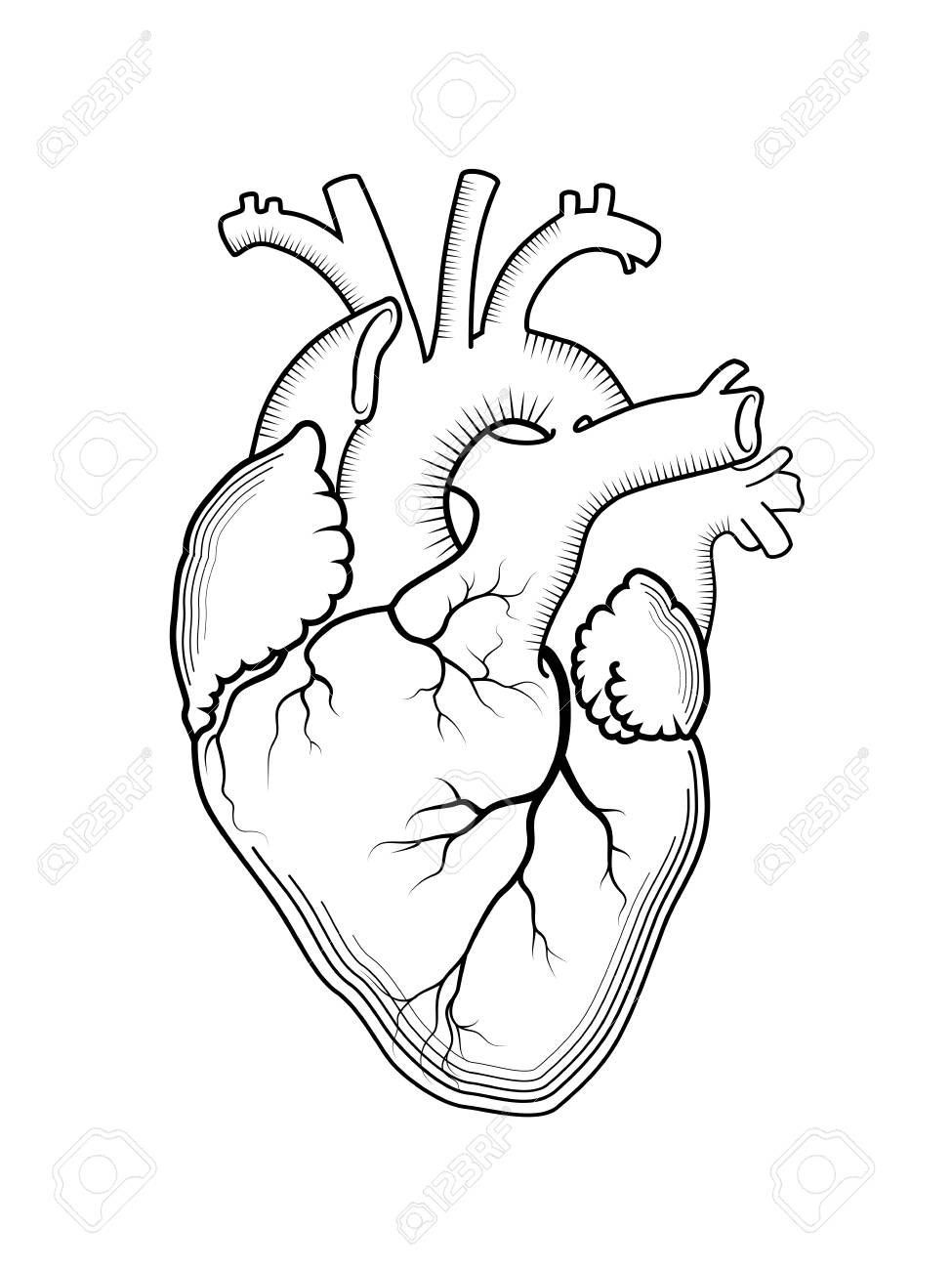 Detailed Heart Drawing : detailed, heart, drawing, Heart., Internal, Human, Organ,, Anatomical, Structure., Engraved.., Royalty, Cliparts,, Vectors,, Stock, Illustration., Image, 90418014.