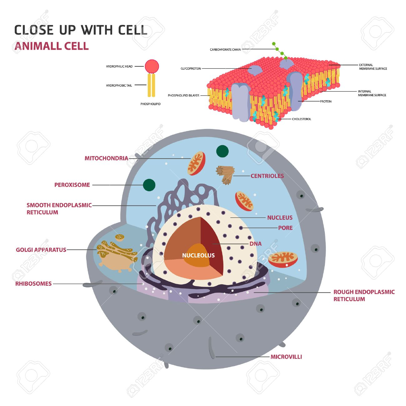 hight resolution of animal cell cross section structure of a eukaryotic cell vector diagram stock vector 51151246