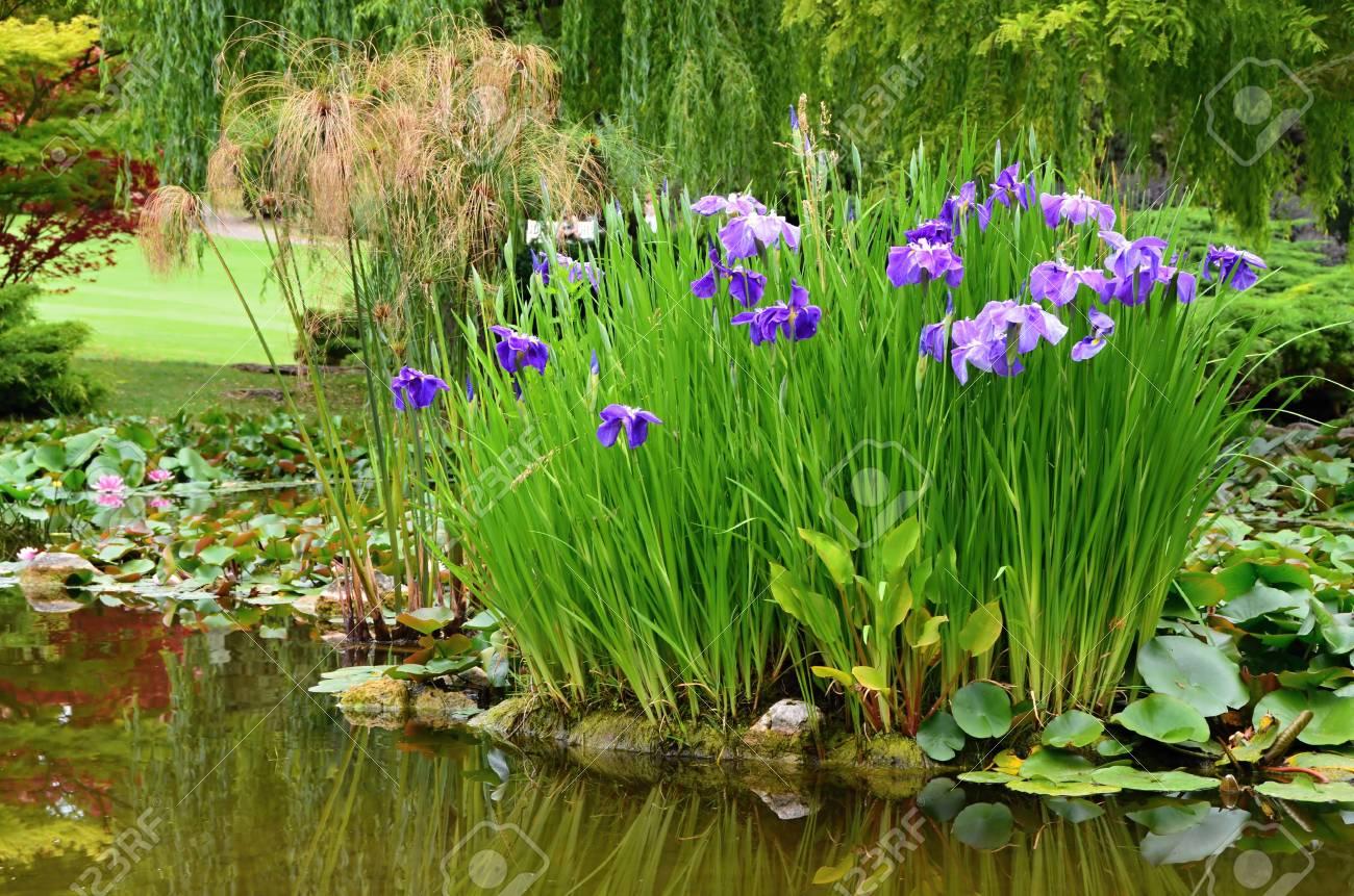bassin de jardin avec des fleurs d eau iris d eau et autres plantes dans l etang de jardin