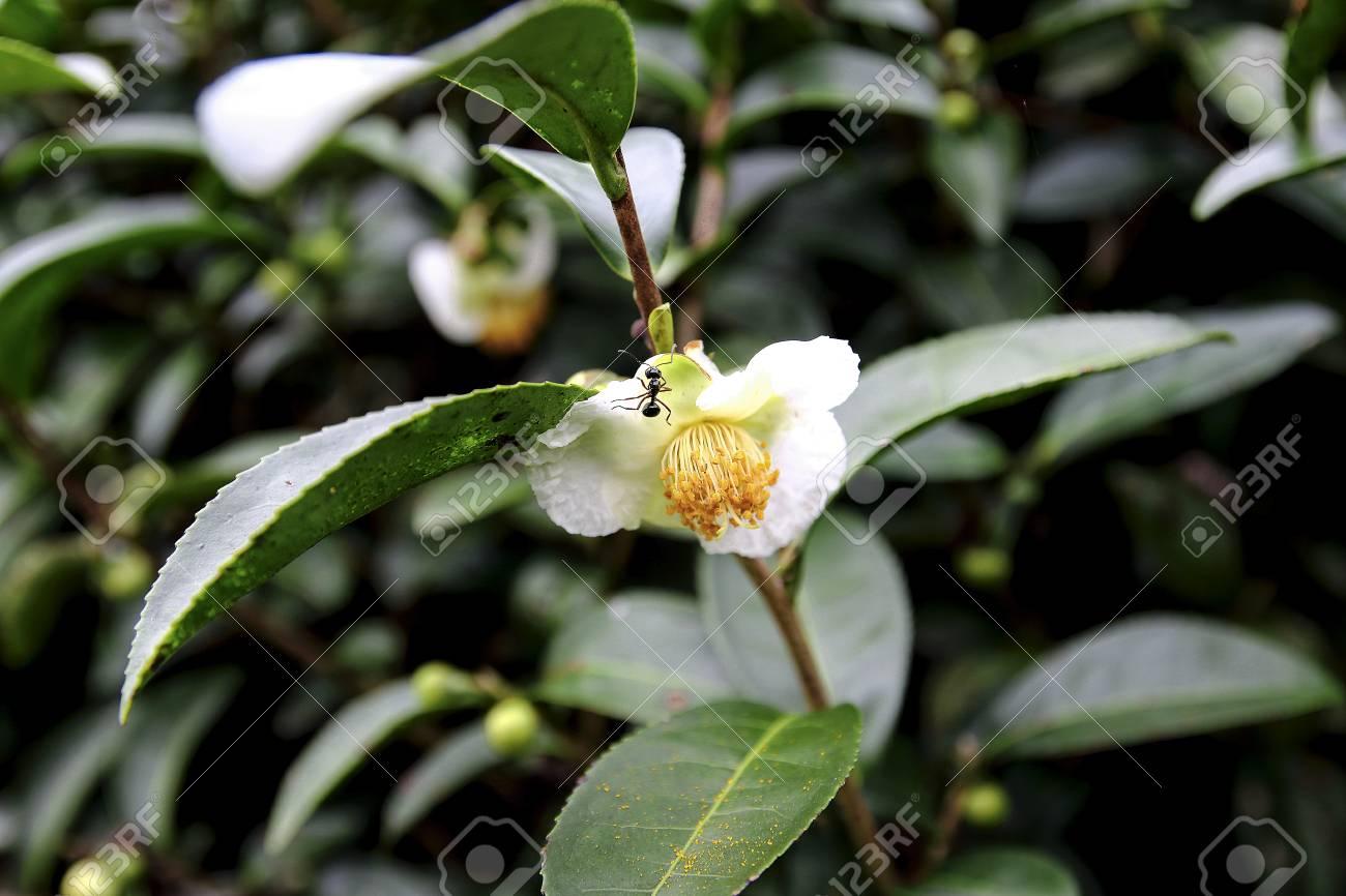 green tea flower or