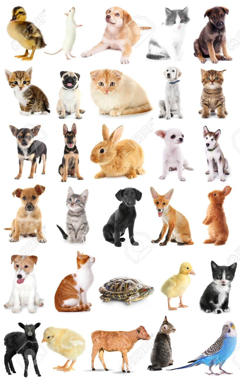 Animal Collage : animal, collage, Collage, Animals, White, Background, Stock, Photo,, Picture, Royalty, Image., Image, 92048356.