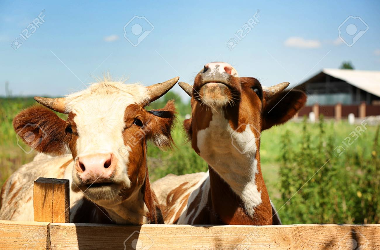 cows on blurred dairy