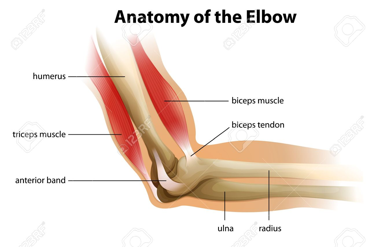 hight resolution of illustration showing the anatomy of the human elbow stock vector 20060290