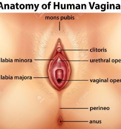 diagram showing anatomy of human vagina illustration stock vector 60452762 [ 1300 x 1103 Pixel ]