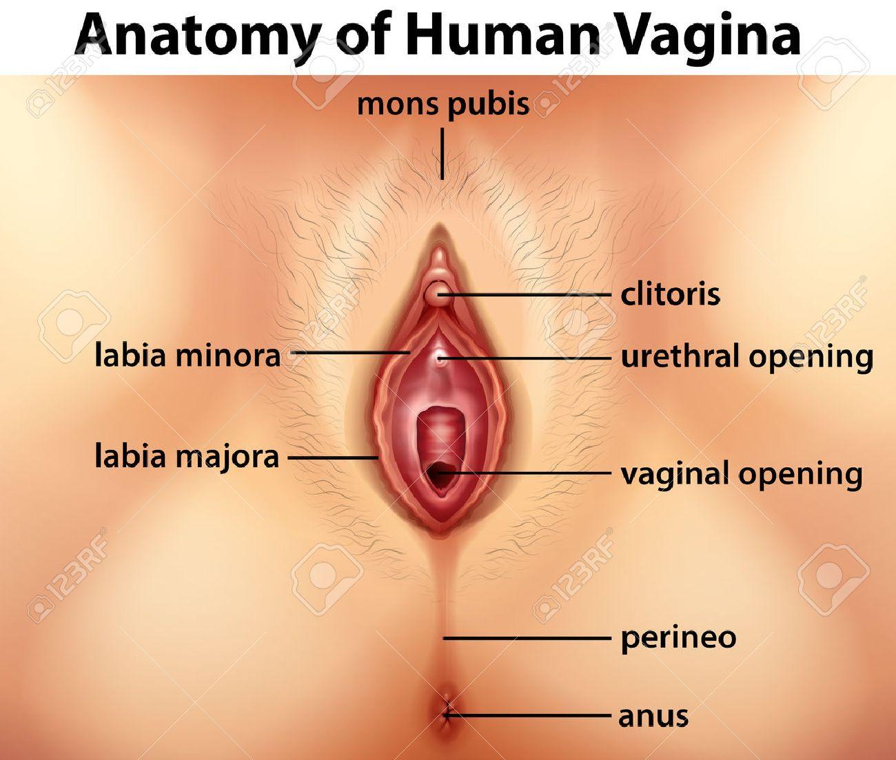 hight resolution of diagram showing anatomy of human vagina illustration stock vector 60452762