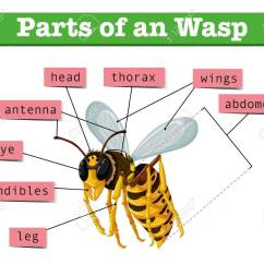 Hornet Anatomy Diagram Chrysler Voyager Wiring Diagrams Of Wasp With Words Illustration Royalty Free Cliparts Stock Vector 60452942