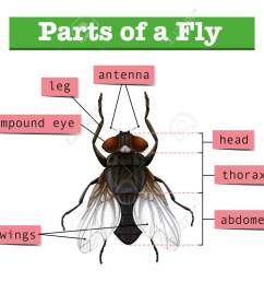 diagram showing parts of fly illustration stock vector 60453070 [ 1300 x 1051 Pixel ]