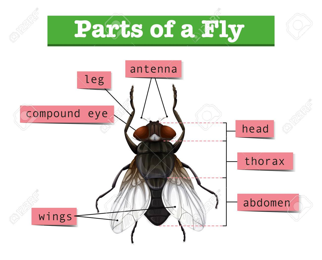 hight resolution of diagram showing parts of fly illustration stock vector 60453070
