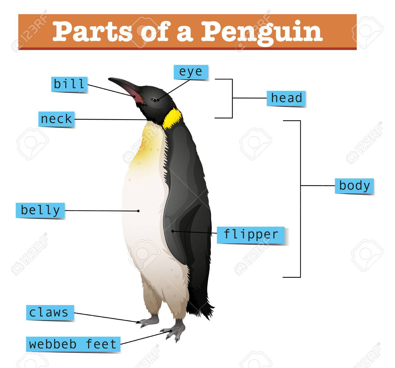 emperor penguin diagram 4 pin din minax belegung king wiring schematic showing parts of illustration royalty free cliparts anatomy