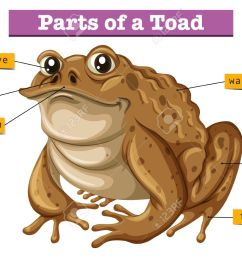 diagram showing parts of toad illustration royalty free cliparts toad diagram with label [ 1300 x 1013 Pixel ]
