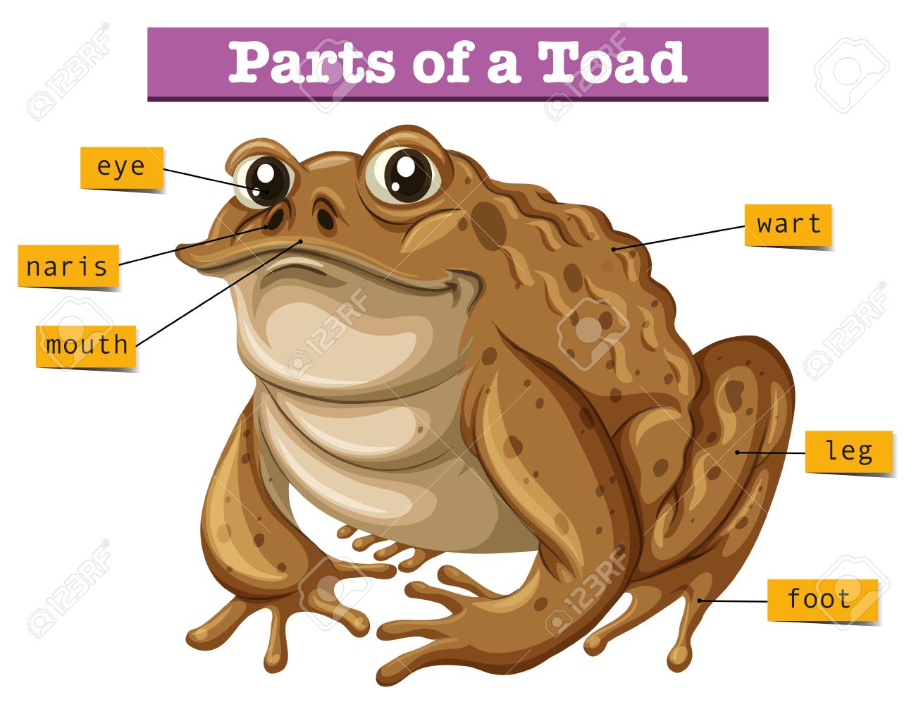 hight resolution of diagram showing parts of toad illustration royalty free clipartsdiagram showing parts of toad illustration stock vector