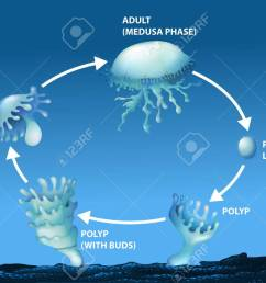 diagram showing life cycle of jellyfish illustration stock vector 70646490 [ 1300 x 904 Pixel ]