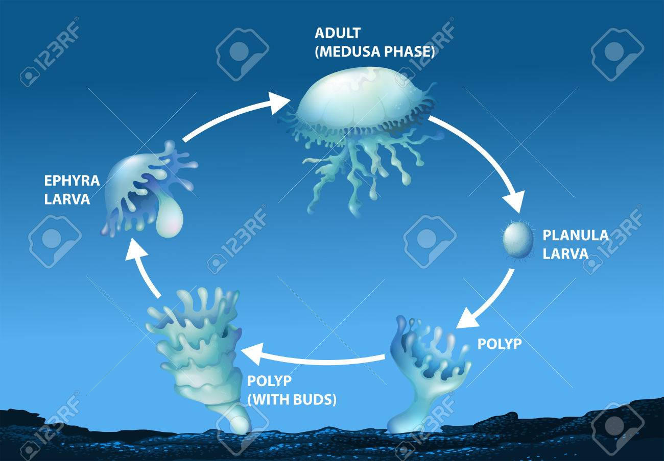 hight resolution of diagram showing life cycle of jellyfish illustration stock vector 70646490