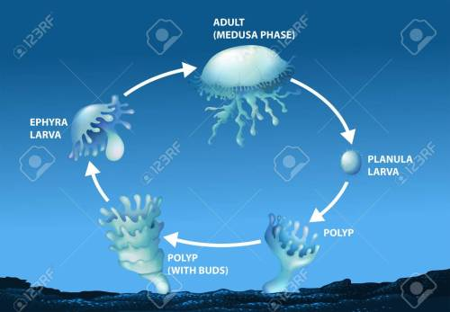 small resolution of diagram showing life cycle of jellyfish illustration stock vector 70646490